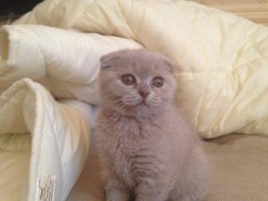 Шотландская вислоухая кошка - скоттиш-фолд (Scottish Fold)