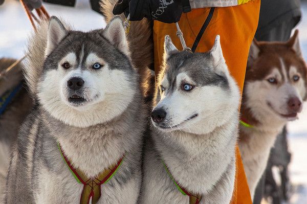 Ездовые собаки – красотища!