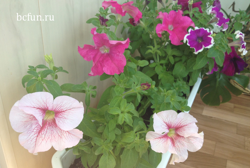 петуния: как правильно осуществлять сбор семян