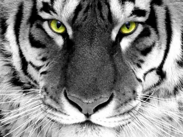 Уссурийские тигры в Словакии
