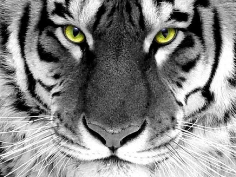 уссурийские тигры