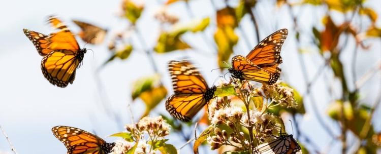 Знаменитые бабочки-монархи вскоре могут исчезнуть на западе Северной Америки