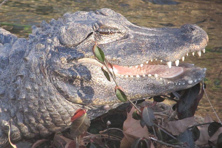 Китайский аллигатор – хищник под угрозой