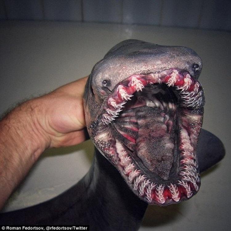 Доисторическая акула-монстр поймана в Португалии