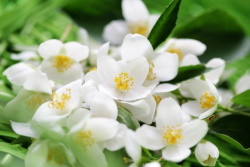 Жасмин - источник экзотического аромата