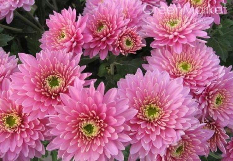 Хризантема: популярный цветок
