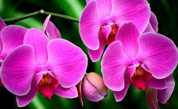 Орхидеи: происхождение тропической красоты